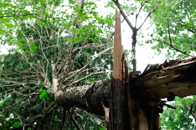 2019.09.14 瀬谷市民の森 倒木