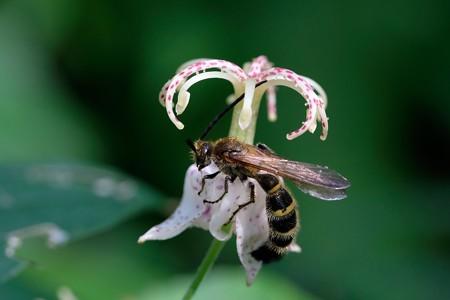 2019.09.20 追分市民の森 山路の杜鵑草へヒメハラナガツチバチ