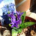 写真: ヒヤシンスが開花