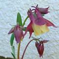 カナダオダマキ開花