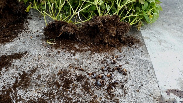 写真: コガネムシの幼虫にやられた(怒)