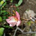 写真: 狂い咲-3