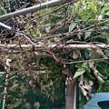 写真: 葡萄の樹が枯れてきた。