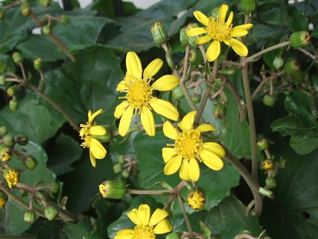 ツワブキ開花