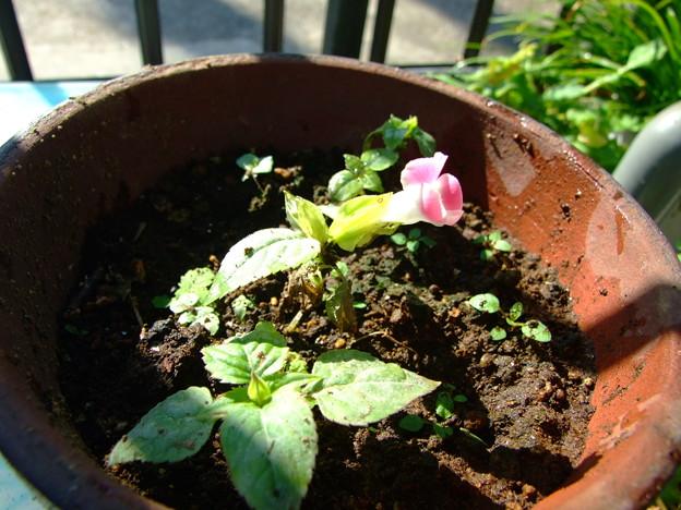 トレニア狂い咲き