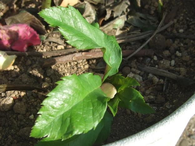 クリローの花芽