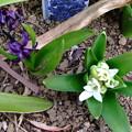 紫と白のヒヤシンス