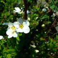 Photos: ユキヤナギが咲きだした