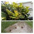 Photos: 一晩で椿の木が被害に。。。