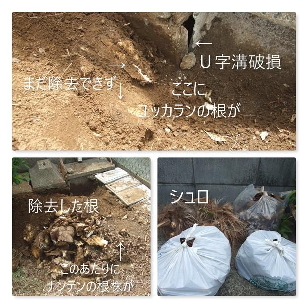 Photos: ユッカ欄の根っこを除去