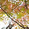黄葉、紅葉、緑葉