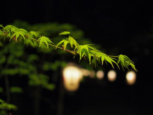 """""""夜"""" もみじ"""