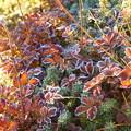 写真: チングルマの紅葉に霜