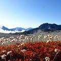 写真: 綿毛越しの立山連峰