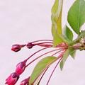 写真: 海棠のつぼみ