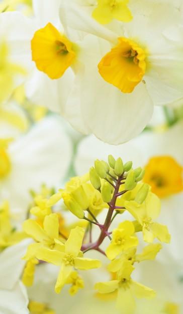 写真: 葉牡丹と水仙