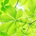 写真: トチノキの葉