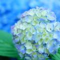 写真: 紫陽花をバックに