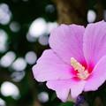 写真: 木槿