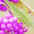 紫式部とツユムシ