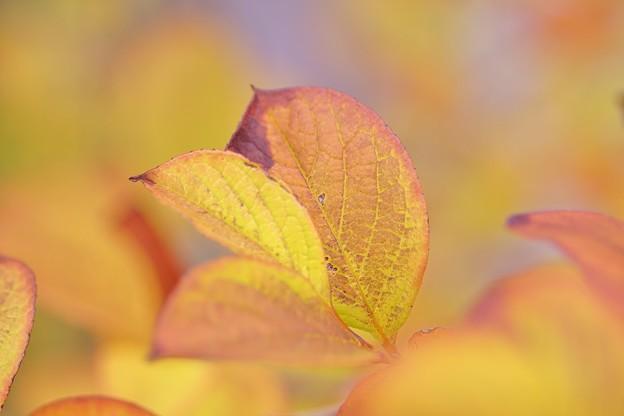 写真: ナツツバキの黄葉