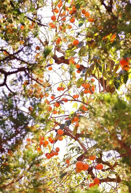木々の隙間から撮った柿