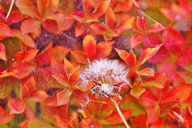 ドウダンツツジの紅葉と綿毛
