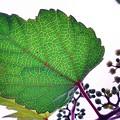 ノブドウの葉