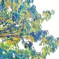 アカメガシワ黄葉