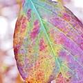 紫陽花の虹葉