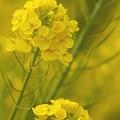 写真: 菜の花~Fantasy・・1