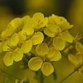 写真: 菜の花~Fantasy・・3