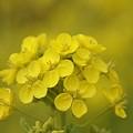 写真: 菜の花~Fantasy・・6
