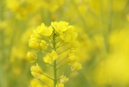 菜の花~Fantasy・・7