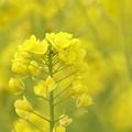 写真: 菜の花~Fantasy・・7