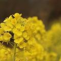 写真: 菜の花~Fantasy・・11