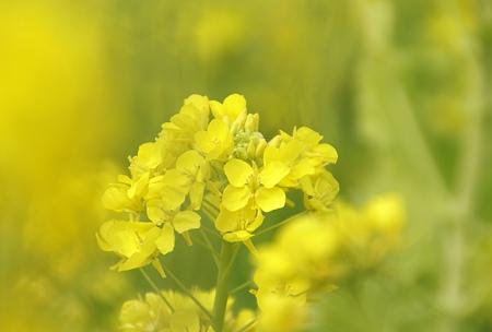 菜の花~Fantasy・・12