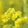 写真: 菜の花~Fantasy・・12