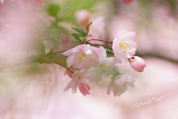 海棠(かいどう)の花・・