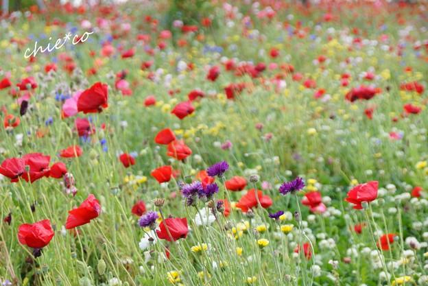 花菜ガーデン-007