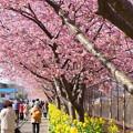 写真: 三浦海岸~河津桜~-161