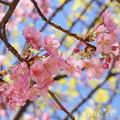 写真: 三浦海岸~河津桜~-165
