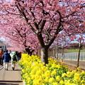 写真: 三浦海岸~河津桜~-168