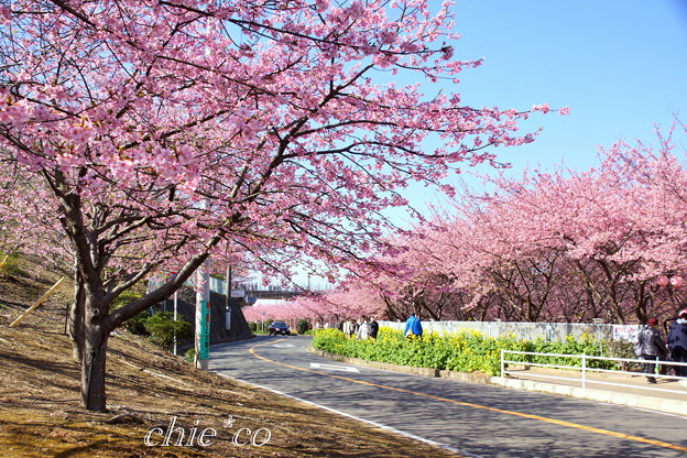 三浦海岸~河津桜~-171
