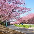 写真: 三浦海岸~河津桜~-171