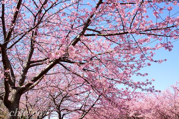 三浦海岸~河津桜~-172