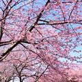 写真: 三浦海岸~河津桜~-172