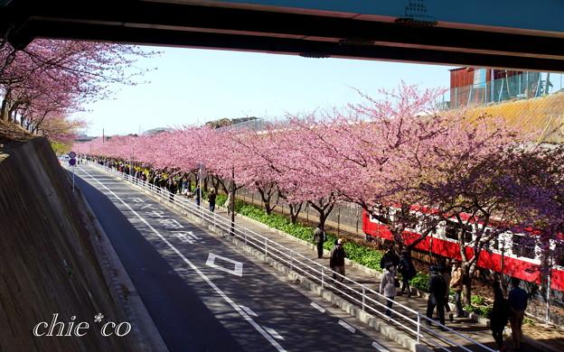 写真: 三浦海岸~河津桜~-178