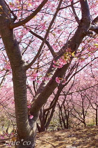 三浦海岸~河津桜~-179