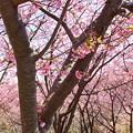 写真: 三浦海岸~河津桜~-179